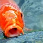 Acheter un poisson japonais sur Internet, c'est très facile !